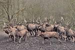 V oboře nacházejí každou zimu desítky shozených parohů. Jelen evropský je stále i velmi oblíbenou lovnou zvěří.
