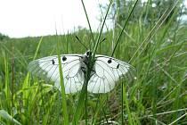 Pod Pálavou přibylo vzácných motýlů jasoňů dymnivkových.