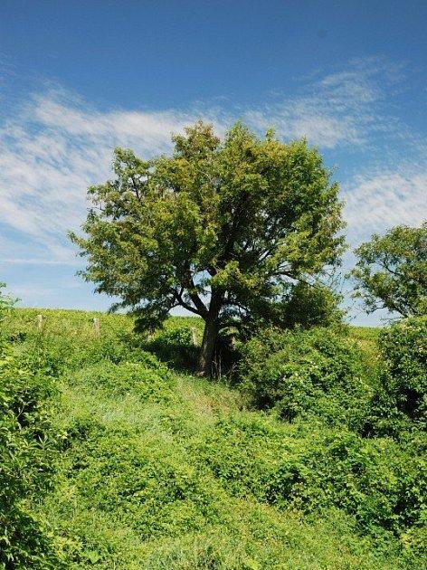 Občanské sdružení Sorbus se sídlem vBřeclavi připravilo projekt nazvaný Návrat oskeruše.