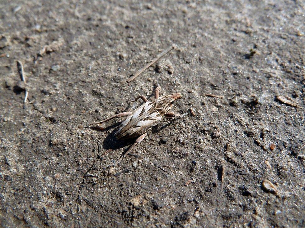 Rýhonosec Coniocleonus nigrosuturatus