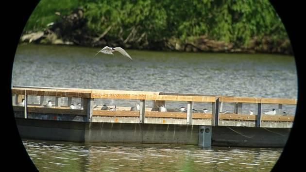 Betonový ponton umístili na nádrži Nové Mlýny vodohospodáři po dohodě s ornitology na jaře. Rybáci si ho oblíbili.