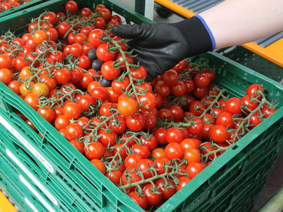 Ve sklenících u Velkých Němčic od přelomu roku sklízejí až šest tun cherry rajčat denně.