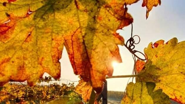Na vinici je práce po celý rok. Vinné révě musí přát hlavně počasí.