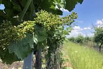 Zpravidla v první půlce června kvete vinná réva, vlivem chladného jara se ale kvetení opozdilo.