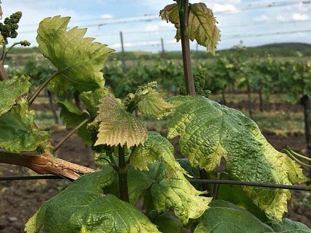 Vinice ve viniční trati Liščí vrch u Březí na Břeclavsku poškodil herbicid.