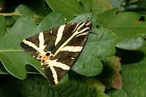 Přástevník kostivalový je motýl z čeledi přástevníkovitých.