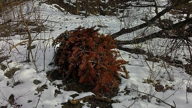 Na Svatém kopečku u Mikulova našli pracovníci Správy Chráněné krajinné oblasti Pálava vánoční stromek.
