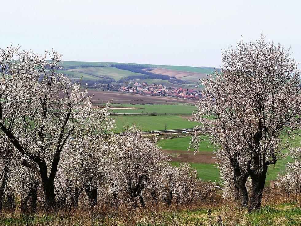 Procházka odkvétajícími mandloňovými sady v Hustopečích.