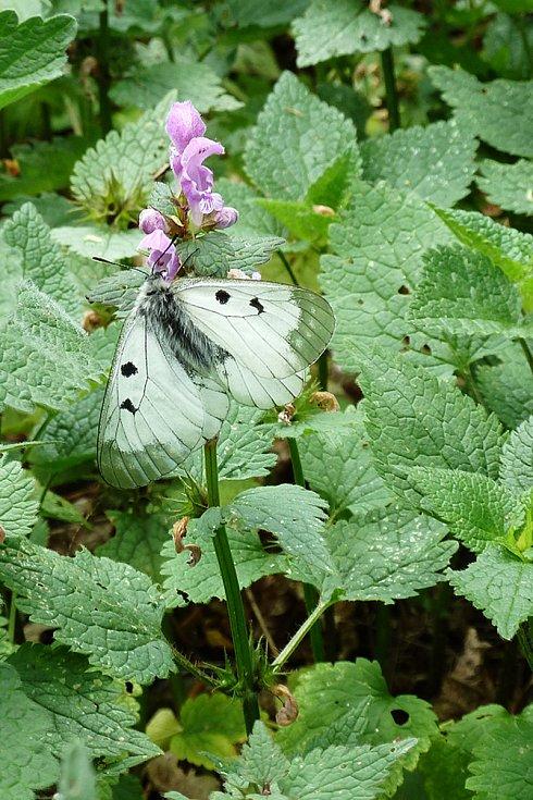 Chráněného motýla jasoně dymnivkového v oboře Bulhary na Pálavě téměř vyhubilo nevhodné hospodaření Lesů České republiky. Tvrdí to entomologové.