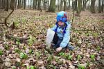 První lístky medvědího česneku se objevují v lesích u Břeclavi. Zelené koberce této rostliny je pokryjí ve velkém během týdne až čtrnácti dnů.