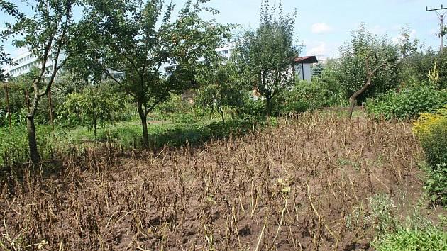 Zemědělci na Břeclavsku si zoufají. Extrémně vlhké počasí je obírá o úrodu. Plísně napadají brambory, okurky, rajčata, ale také vinice.