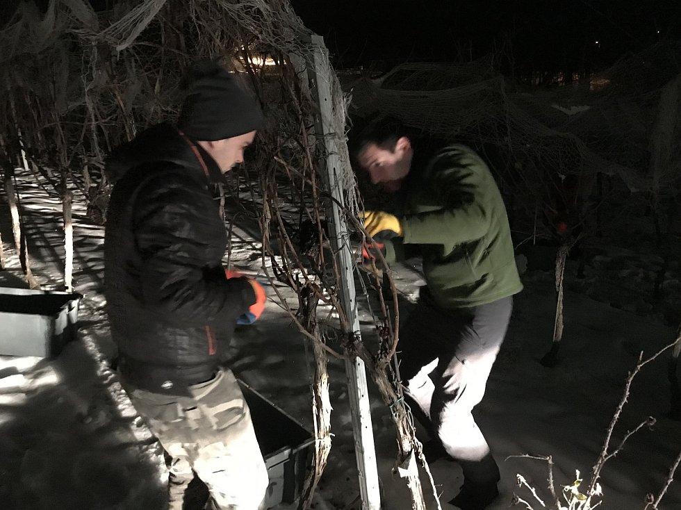 Pracovníci vinařství Pavlovín v pondělí posbírali hrozny na ledové víno.