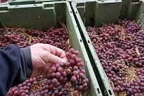 Lisování vysušených hroznů odrůdy Pálava pro slámové víno trvá čtyřiadvacet hodin. FOTO: Chateau Valtice