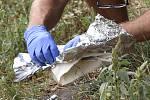 Nůž nalezený na břehu řeky Dyje - Kriminalista zajišťuje nůž nalezený na břehu řeky Dyje v Břeclavi. V nedalekém domě v Šilingrově ulici policisté den předtím nalezli dva mrtvé, muže a ženu.