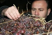 Petr Marcinčák z Mikulova kontroluje hrozny, které na půdě haly jeho vinařské firmy v Novosedlech leží už několik měsíců na slámě.