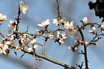 Něžnou krásu bílých a narůžovělých květů mandloní, které jsou tradičními prvními posly jara, mohou milovníci přírody obdivovat v Hustopečích.