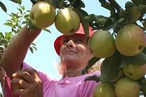 Pěstitelé letos očekávají průměrnou úrodu jablek. Naříkají ale kvůli nízkým výkupním cenám moštových jablek.