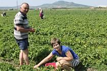 V Šakvicích si lidé mohou sami nasbírat jahody na deseti hektarech pole.