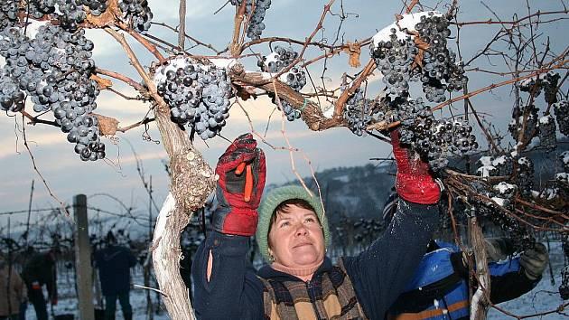 Sbírat zmrzlé hrozny není žádný med, sběrači se musí do mrazivého rána pořádně teple obléct. Dobře to vědí i pracovníci Révy Rakvice, kteří každoročně sbírají hrozny na ledové víno v katastru Hustopečí.