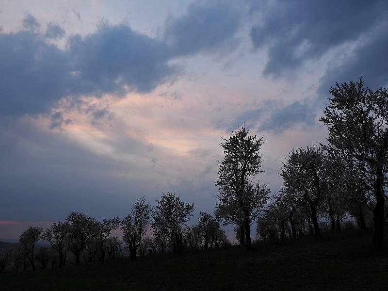 Rozkvetlé mandlońové sady v Hustopečích.