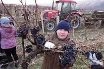 Vinaři z Břeclavska využili silnějších mrazů a z vinohradů sesbírali hrozny určené k výrobě ledového vína.