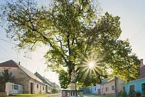Svatofloriánská lípa v Horních Věstonicích je dalším památným stromem.