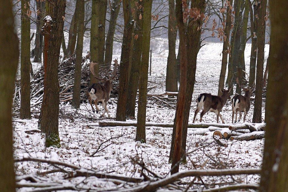 Přes zimu žije obora v klidnějším režimu, který zvířata potřebují. Chovají tam zhruba 150 kusů jelenů obecných a evropských, přes stovku daňků i srnčí, 16. 2. 2021.