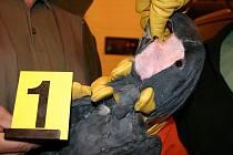Celníci překazili u Lanžhota nelegální převoz papoušků kakadu palmových