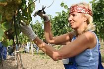 Bezmála 160 lidí se v sobotu zapojilo do recesistického mistrovství světa ve sbírání hroznů ve vinici společnosti Vinné sklepy Valtice.