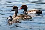 Na Prostředním rybníku mezi Lednicí a Hlohovcem na Břeclavsku ornitologové zachytili výskyt vzácné kachnice kaštanové.