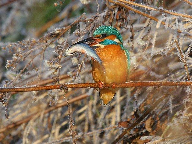 Ledňáček říční. Klenot čistých řek.  V Podyjí se v zimě objevuje jen velice řídce. Nápadně zbarvený pták potřebuje strmé a kolmé břehy. Rybí loví střemhlavým letem pod vodní hladinu.