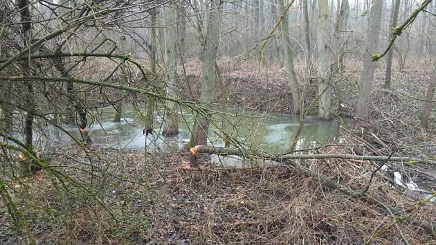 Bobři v Krumlově ohlodávají duby. Už narušili hráz mezi řekou a rybníkem