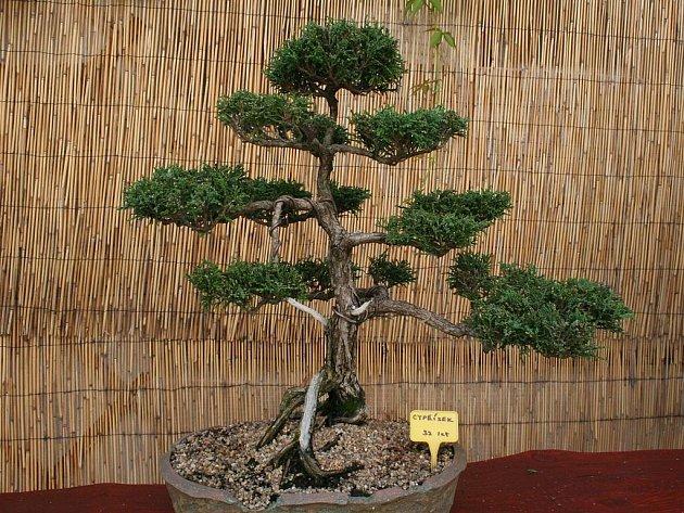 Padesátiletý Znojmák Milan Hrutka se pěstování bonsaí věnuje už třicet let.