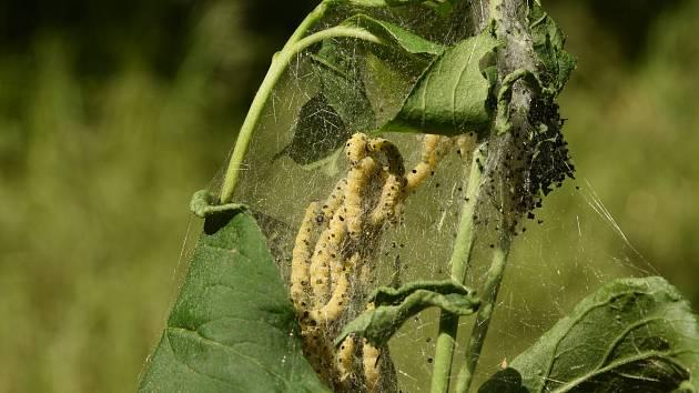 Zápředky housenky předivky brslenové opředly řadu keřů v okolí Znojma.