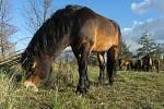Exmoorští poníci na havranické pastvině.