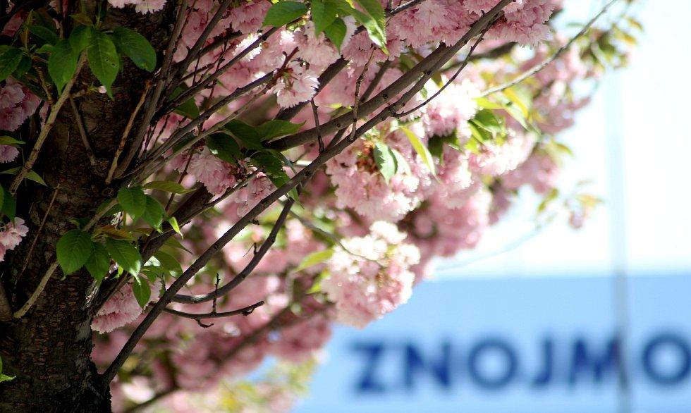 Ulici 17. listopadu ve Znojmě lemují na jaře kvetoucí sakury.