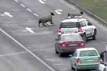 Z ohrady v Oblekovicích, několik set metrů od hlavní silniční tepny ve Znojmě, utekla počátkem týdne trojice ovcí, která se vydala do Znojma právě k hlavnímu tahu na Vídeň. Aby zvířata neohrozila projíždějící auta, musela zasahovat hlídka městské policie.