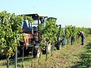Na Ječmeništi u Znojma sbírají v těchto dnech podobně jako jinde na Znojemsku hrozny. Sběr letošní úrody tak u vinařů naplno začal.
