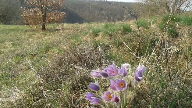 V Národním parku Podyjí vykvetly v těchto dnech první koniklece.