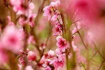 V sadech u Těšetich kvetou růžovými květy broskvoně a bíle meruňky.