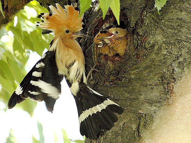 Dudek chocholatý je lehce rozpoznatelný podle chocholky a typického dudání. Nezvané návštěvníky svého hnízda zahání nepříjemným zápachem.