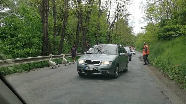 K rybníku po frekventované silnici se vydala labutí rodinka u Moravského Krumlova. Řidiči zareagovali obdivuhodně.