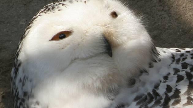 Sovice sněžná sedí na vejcích o dva měsíce dříve.