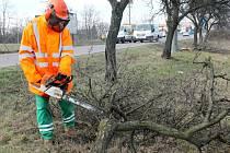 Silničáři začali s obnovou stromořadí u silnice druhé třídy číslo 408 v úseku mezi Suchohrdly a Hevlínem.