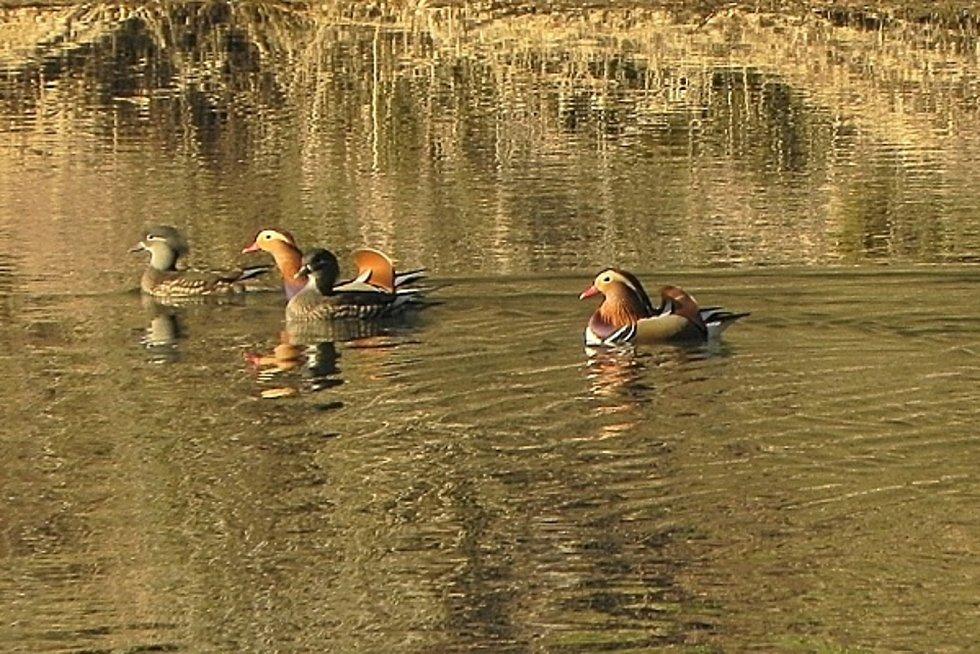 Dva nové druhy kachen i chřástala vodního a další druhy ptáků v rekordním počtu zaznamenali ornitologové v Národním parku Podyjí. Na snímku kachnička mandarínská.