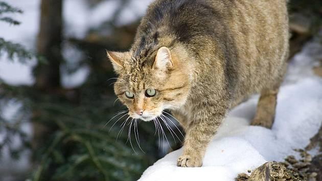 Kočka divoká -  tajemná šelma Podyjí. Zatímco na rakouské straně řeky její výskyt zoologové už spolehlivě doložili, jejich čeští partneři na nevyvratitelný důkaz stále čekají.