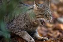 Kočka divoká. Ilustrační fotografie.