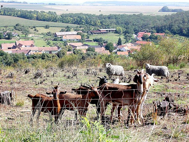 NAD VÝROVICEMI. Stádo koz a ovcí spásá pozemky v okolí Výrovic. Obec na ně dostala dotaci.
