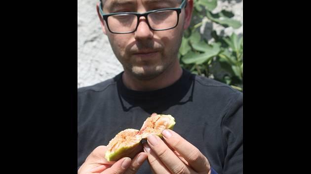 Znojemský botanik Radomír Němec s vypěstovanými fíky u svého domu v Konicích.
