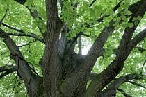Titul Strom roku Znojemska 2013 získala pětaosmdesát let stará lípa v Jubilejním parku ve Znojmě.